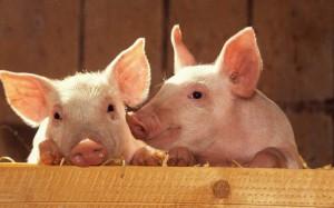 Милые свинки